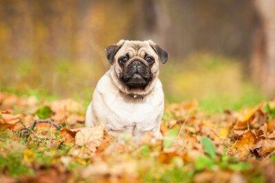 Фотообои Бежевый мопс собака сидит на листьях осенью