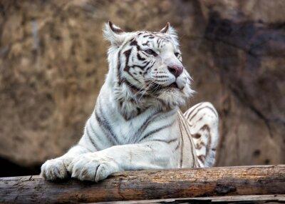 Фотообои Бенгальский тигр - редкий подвид, включен в Красную книгу МСОП