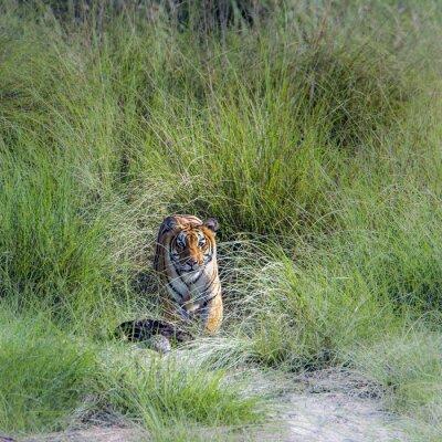 Фотообои Бенгальский тигр в национальном парке Бардия, Непал