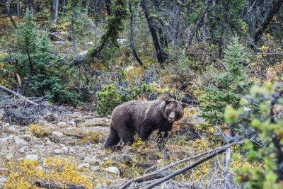 Фотообои Большой бурый медведь ищет желудей
