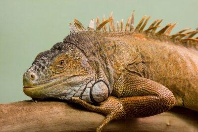 Фотообои Большая ящерица спать на ветке крупным планом, изолированных фоне