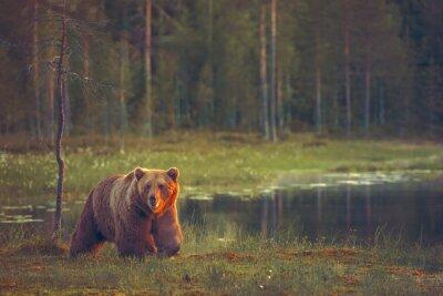 Фотообои Big male bear walking in the bog at sunset