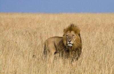 Фотообои Большой мужчина лев в саванне. Национальный парк. Кения. Танзания. Масаи Мара. Серенгети. Отличной иллюстрацией.