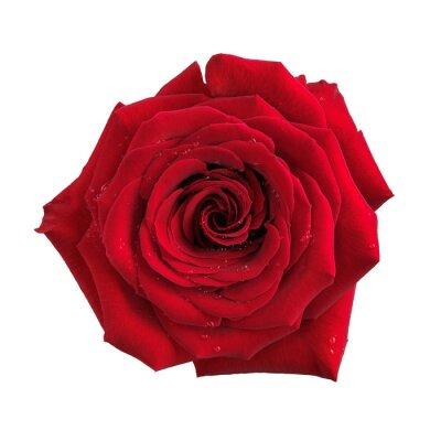 Фотообои Большой красный цветок розы изолированный