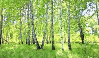 Фотообои березовый лес