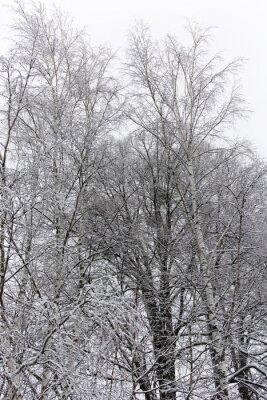 Фотообои березы, покрытые снегом