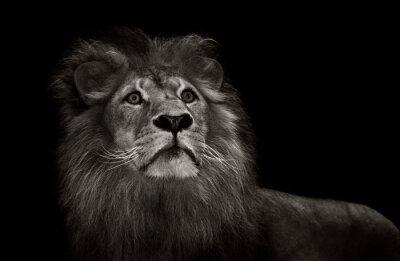 Фотообои черно-белый лев