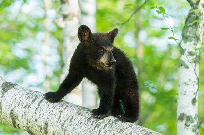 Фотообои Black Bear Cub (Ursus атепсапиз) Включает отделения