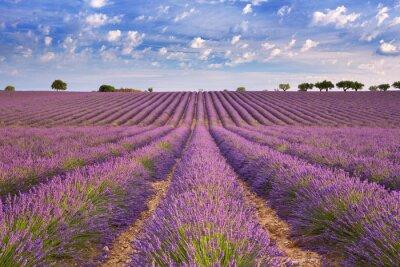 Фотообои Цветущие поля лаванды в Провансе, на юге Франции
