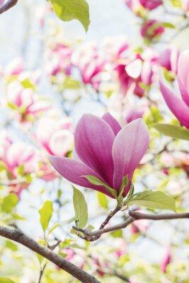Фотообои Расцвет розовых цветов магнолии в весеннее время