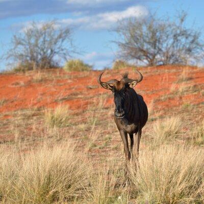 Фотообои Синий гну антилопы