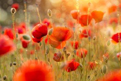 Фотообои Цветущий мак поле в вечернем свете с Bokeh