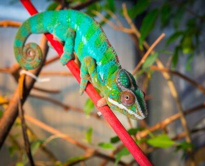 Фотообои Яркие и красочные хамелеон сидит на ветке