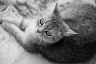 Фотообои Британский кот - черный и белый