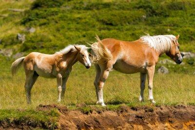 Фотообои Браун и Уайт-Маре с жеребенком / Браун и белая лошадь с жеребенком в горы. Национальный парк Адамелло Брента, Трентино-Альто-Адидже, Италия