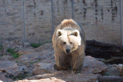 Фотообои Бурый медведь