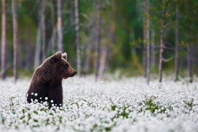 Фотообои Brown bear between cotton grass