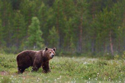 Фотообои бурый медведь с фоне леса