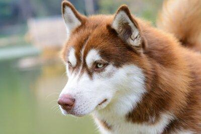 Фотообои Браун сибирский хаски собаки стоя