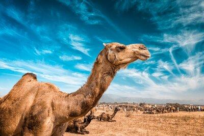 Фотообои Верблюд в Индии