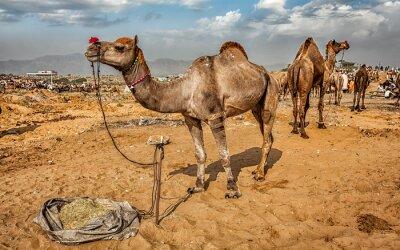 Фотообои Верблюды в Пушкар Мела Camel Fair, Индия