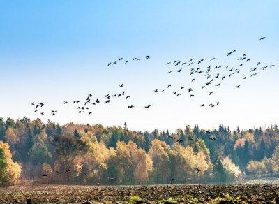 Фотообои Канадские гуси миграция