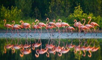 Фотообои Карибские фламинго, стоя в воде с отражением. Куба. Прекрасной иллюстрацией.