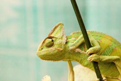 Фотообои хамелеон
