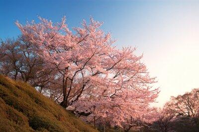 Фотообои Вишни в цвету Киемидзу-дера, Киото, Япония