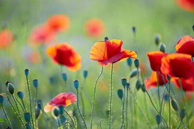 Фотообои Закрыть од цветок мака