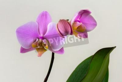 Фотообои Крупный план цветок пастельных орхидей. Дзен в искусстве цветов. Макросъемка природы.