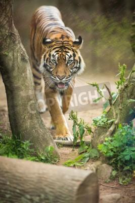 Фотообои Крупным планом сибирского тигра также известный как амурский тигр (Panthera Тигр Altaica), самый большой живой кошки