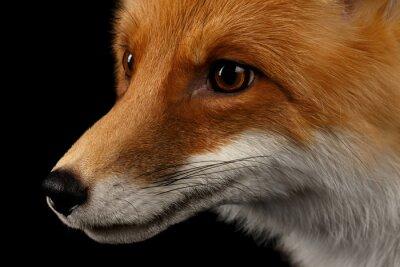 Фотообои Макрофотография портрет Red Fox в профиль, изолированных на черном