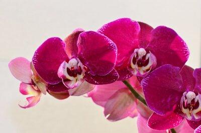 Фотообои крупным планом фиолетовый Orchide