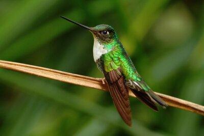 Фотообои Collared Инка, колибри-инки torquata, колибри из Mindo леса, птицы Эквадора