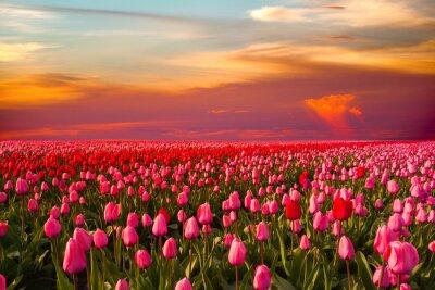 Фотообои Colorful field of tulips, Netherlands. Keukenhof park, Holland.