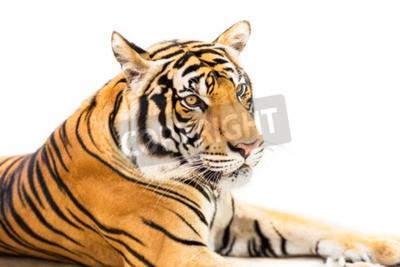 Фотообои Крадущийся молодой амурский тигр на белом фоне