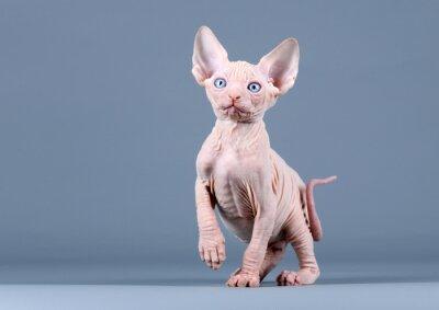 Фотообои Милый котенок сфинкс