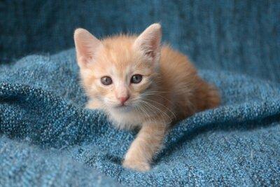 Фотообои Cute little kitten on blue blanket background