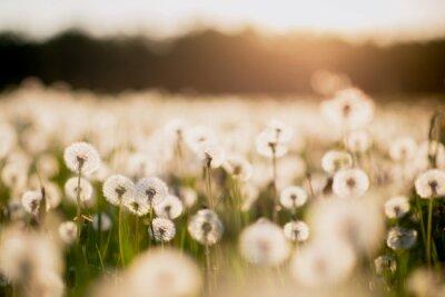 Фотообои одуванчик поле на закате