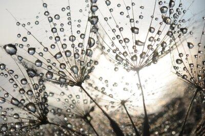 Фотообои Одуванчик семена с каплями росы