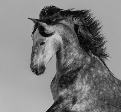 Фотообои Dapple-серый андалузский жеребец - портрет в движении