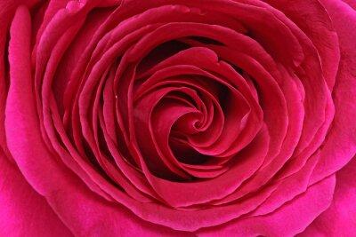 Фотообои Détail сГипе розы
