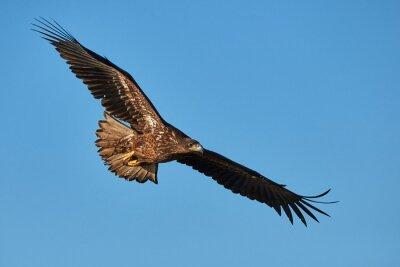 Фотообои Орел в полете