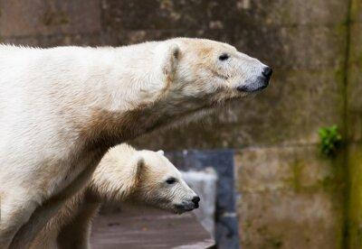 Фотообои см белых медведей