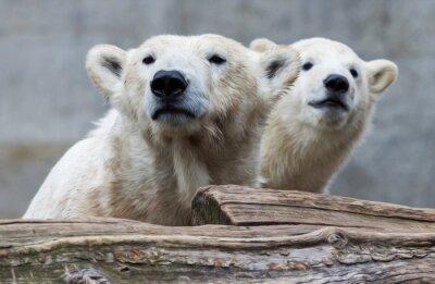 Фотообои Полярный медведь семьи