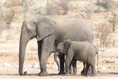 Фотообои Слониха и Кальве в Намибии