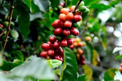 Фотообои Превосходный кофе из Коста-Рики.