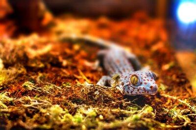 Фотообои экзотическое животное ящерица геккон токи