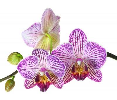Фотообои Экстремальные глубины резкости Фото из трех Orchid цветению